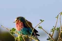 Rouleau de lilas-Breasted, parc national de Serengeti image libre de droits