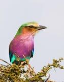 Rouleau de lilas-breasted, parc national de Serengeti, Tanzanie, Afrique Photographie stock