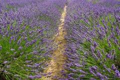 Rouleau des buissons de floraison de lavande dans une ferme - 3 image libre de droits