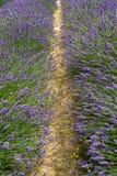 Rouleau des buissons de floraison de lavande dans une ferme - 4 photo stock