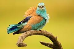 Rouleau européen d'oiseau bleu-clair gentil de couleur se reposant sur la branche avec la facture ouverte, fond jaune brouillé image stock