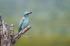 Rouleau europ?en en parc national de Kruger, Afrique du Sud image libre de droits