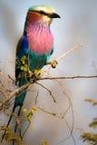 Rouleau lilas de Breasted Photo libre de droits
