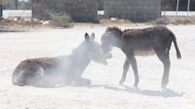 Roulement adulte d'âne dans le sable photos libres de droits