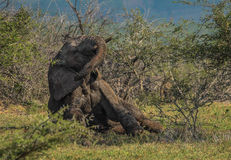 Roulement d'éléphant dedans il boue Photo libre de droits