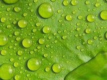 Roulement d'eau de pluie sur Lotus photo libre de droits