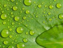 Roulement d'eau de pluie sur Lotus Photos stock