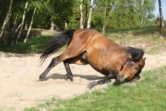 Roulement de cheval de Brown dans le sable en été chaud photo stock