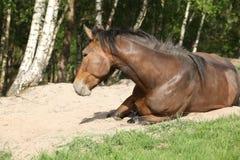 Roulement de cheval de Brown dans le sable en été chaud photos libres de droits