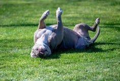 Roulement de chien dans l'herbe image stock