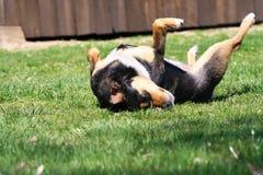 Roulement de chien dans un domaine d'herbe avec la couleur d'automne image stock