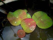 Roulement de l'eau sur Lotus Leaves photo stock