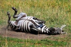 Roulement de zèbre sur les plaines poussiéreuses sèches dans le masai Mara Photo libre de droits