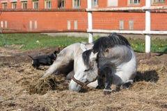 Roulement gris de cheval au sol photo libre de droits