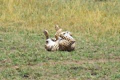 Roulement masculin de guépard Image libre de droits