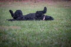 Roulement portugais de chien d'eau dans l'herbe photographie stock libre de droits