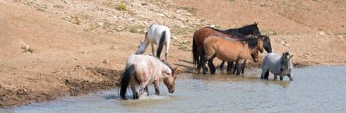 Roulement rouan rouge d'étalon dans l'eau avec le troupeau de chevaux sauvages dans la chaîne de cheval sauvage de montagnes de P Photographie stock libre de droits
