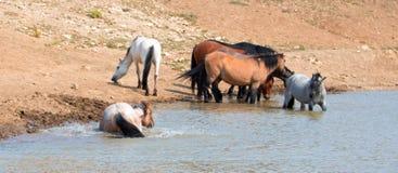 Roulement rouan rouge d'étalon dans l'eau avec le troupeau de chevaux sauvages dans la chaîne de cheval sauvage de montagnes de P Photographie stock