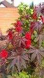 Roulette de floraison Photo stock