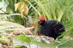 Rouloul-Rebhuhn im Unterholz Lizenzfreies Stockbild