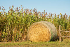 Round bale of hay next to a field of Sorghum. Ready to harvest - agricultural background Royalty Free Stock Photos