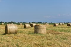 Round bales of straw on cut grain field. Royalty Free Stock Images
