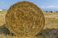 Round bales of straw on cut grain field. Stock Images