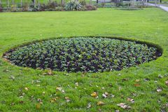 A round bed of wallflower plants in November in preparation for spring flowering Stock Photography