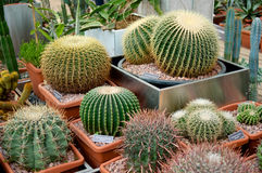 Round big cacti in pots Royalty Free Stock Photo