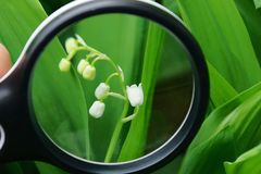 Black magnifier increases small white flowers of lily of the valley in green leaves stock photography