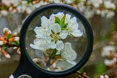 Black magnifier increases white flowers on a tree branch stock images