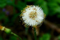 Beautiful white dandelion on a green stalk in the garden. Round blooming white dandelion in nature on a sunny day Stock Photo