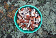 A round bucket filled with  mushrooms. A round bucket filled with edible boletus mushrooms with red hats on the background of coniferous forest. Top view Royalty Free Stock Photos