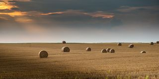 Round bundles of dry grass in the field,bales of hay stock image