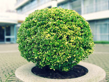 Round bush. Beautiful round green bush. Decorative element in the city Royalty Free Stock Images