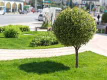 Round bush casting shadow on a green lawn, city background. Royalty Free Stock Image