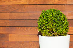 Round Bush in front of Wooden Wall Royalty Free Stock Photography