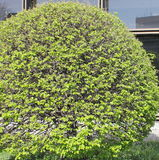 Round bush Royalty Free Stock Images