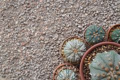 Round cactus Astrophytum species Stock Photo
