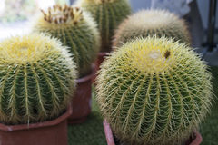 Round cactus. Close-up view Royalty Free Stock Photos