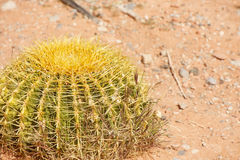 Round Cactus in Dry Arid Desert Stock Photography