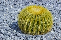 Round cactus. Growing in rocks royalty free stock photo