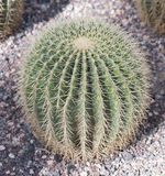 Round cactus Royalty Free Stock Photography