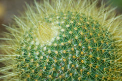 Round Cactus Plant. Close up of a round cactus showing long sharp spines Royalty Free Stock Photography