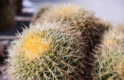 Round Cactus Royalty Free Stock Images