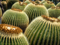 Round cactuses in the Cactus Garden Royalty Free Stock Photography