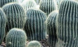 Round cactuses in rocks. Botany, travel, garden design Royalty Free Stock Photos