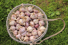 Round chicken coop with harvest of garlic Royalty Free Stock Photo
