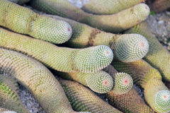 Round columnar cacti Royalty Free Stock Photography