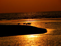 Round the Corner. Wild dogs reach on the end of an island at sunset in India Stock Photos